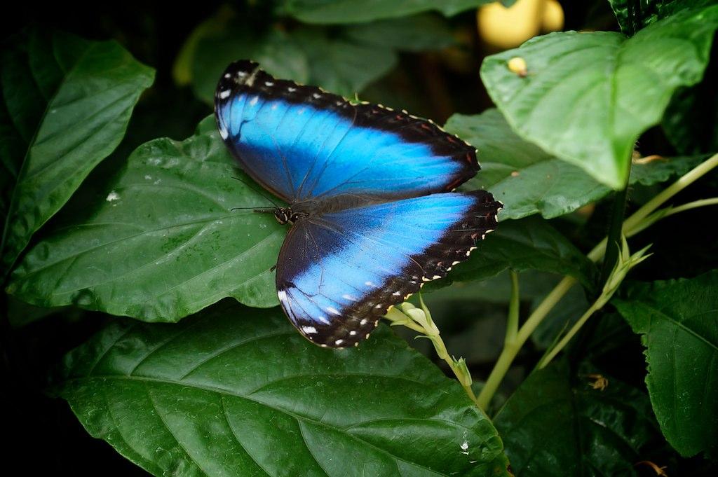 Papillons en libert au jardin botanique de montr al 2012 for Papillon jardin botanique 2015