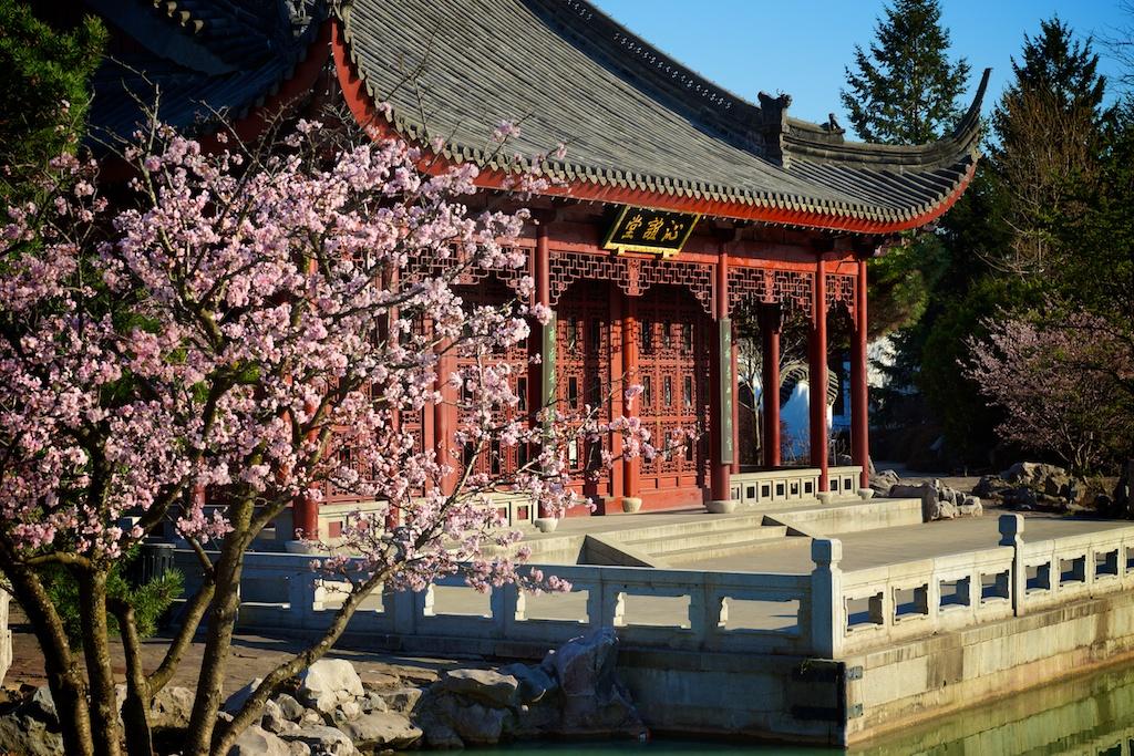 Les magnolias du jardin japonais au jardin botanique de for Botanique jardin montreal