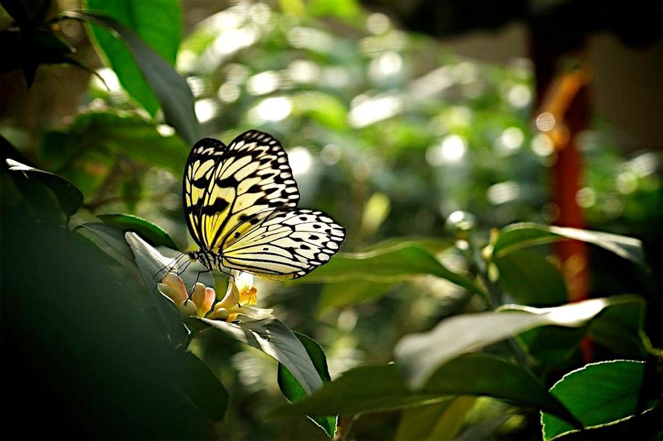papillons en libert 2015 au jardin botanique de montr al